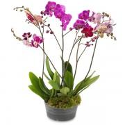 Орхидеи Фелнопсис